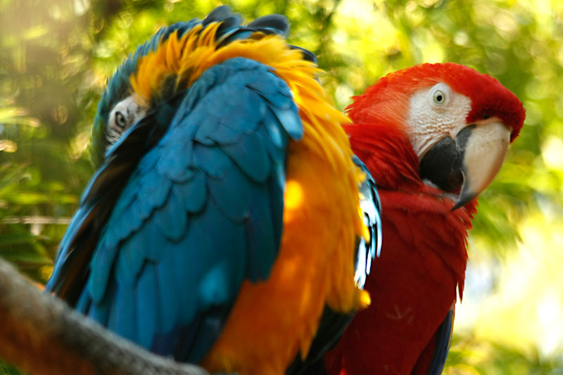 Photograph of two MaCaws at the Jacksonville Zoo